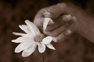 Stock Photo of a Hand Picking daisy Petals